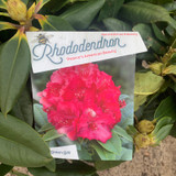 Rhododendron 'Pearce's American Beauty' - 20L