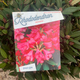 Rhododendron 'Winsome' - 20L