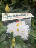 Rhododendron 'Madame Masson- 20L