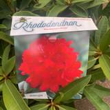 Rhododendron 'Markeeta's Prize'- 10L