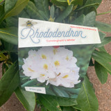 Rhododendron 'Cunningham White'- 10L