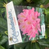 Rhododendron 'Scintillation'- 10L