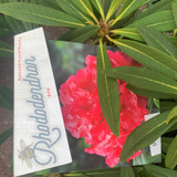 Rhododendron 'Ana'- 10L
