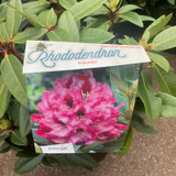 Rhododendron 'Kokardia' - 10L