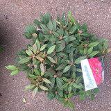 Rhododendron 'Winsome'- 10L