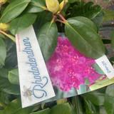 Rhododendron 'Purple Delight' - 20L