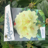 Rhododendron 'Horizon Monarch' - 10L