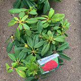 Rhododendron 'Leo' - 10L