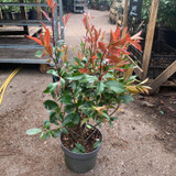 Photinia Red Robin - 3L (approx 2ft)