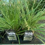 Carex 'Evercream' - Grass