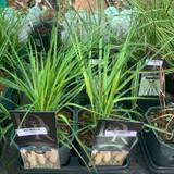 Cortaderia selloana - 3L (Grass)