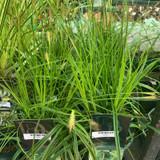 Carex 'Everlime' - Grass