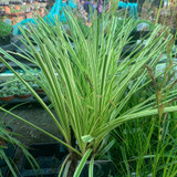 Carex 'Feather Falls' - 2L (Grass)