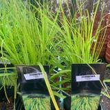 Carex 'Everillo' - Grass