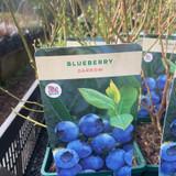 Blueberry 'Darrow'