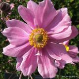 Anemone 'Pamina' - 2ltr pot