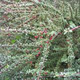 Cotoneaster microphyllus - 3ltr