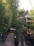 Phyllostachys aurea (Golden Bamboo) 175/200cm