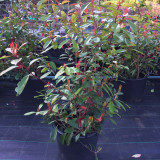 Photinia Red Robin - 100-125cm