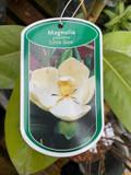 Magnolia grandiflora 'Little Gem' - 3ltr