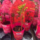 Peony lactiflora 'red'