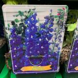 Delphinium 'Blue/White Bee' (p11)