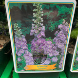 Delphinium 'Lavender' (p11)