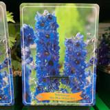 Delphinium 'Sky blue white bee' (p11)