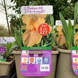 Iris germanica 'June Rose' 3ltr