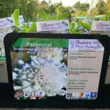 Scabiosa columbaria 'Flutter Pure White' 1ltr