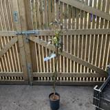 Solanum 'Creche du Pape' 4ltr