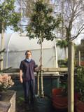 Pleached Portuguese Laurel (Prunus lus. 'Angustifolia') 14/16cm girth