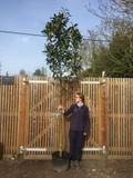 Standard Cherry Laurel 'Caucasica' (Prunus laurocerasus) 12/14cm girth