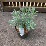 Euphorbia 'Glacier Blue'  3ltr pot