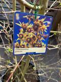 Chimonanthus praecox - 60ltr pot