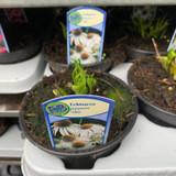 Echinacea purp. 'Alba' (P13)