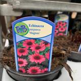 Echinacea purp. 'Magnus' (p13)