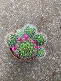 Cactus - flowering Mix (12cm)