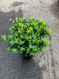 Box individual plant (Buxus)