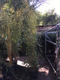 Phyllostachys aureosulcata 'Spectablis' (Yellow Groove Bamboo) 250/300cm