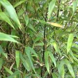 Phyllostachys nigra (Black Bamboo) 150/170cm