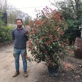 Photinia 'Red Robin' - 150/175cm