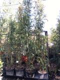 Phyllostachys nidularia (Bamboo) 250/300cm
