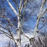 Betula alba (White birch) - 15ft