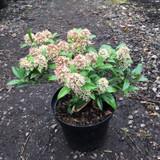 Skimmia japonica 'Marlot' - 5ltr pot