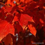Acer cappadocicum 'Rubrum - 200/250cm