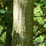 Acer davidii (Snake Bark Maple) - 175/200cm