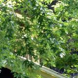Acer saccharinum 'Pyramidale' (Silver Maple) - 6/8cm
