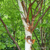 Betula albosinensis 'Fascination' - 10/12cm