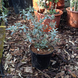 Buddleia 'Lochinch' - 3ltr